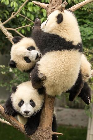 Panda trio