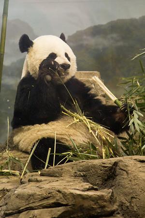 Female panda eating