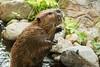 Standing beaver