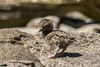 black oystercatcher chick