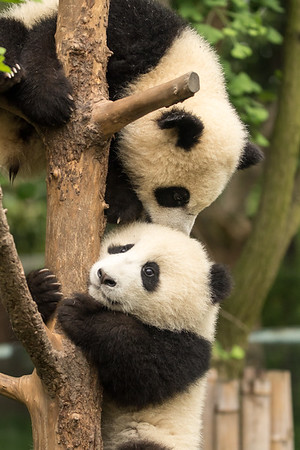 Panda cubs in tree