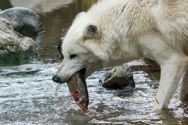 Wolf fishing