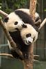 Panda cub duo