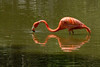 Flamingo reflection