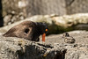 Black oystercatcher and newborn chick