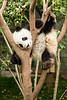 Playful panda