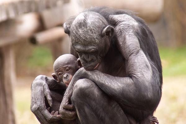 Bonobo and baby