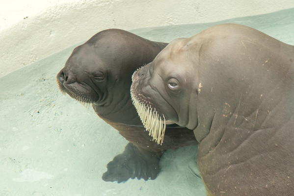Walrus mother and baby