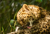Amur leopard cub bathing