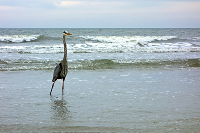 A Crane along the beach on Hilton Head Island