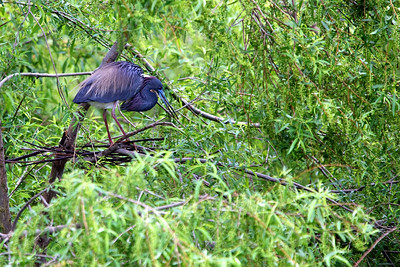 Tri-color heron on Pinckney Island