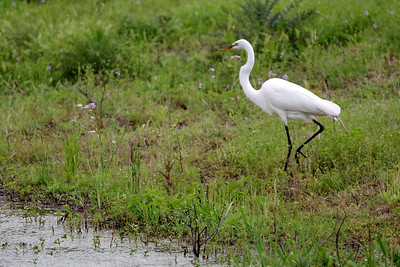White Ibis Bird on Pinckney Island Wildlife refuge