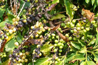 Toured Kauai coffe plantation.