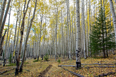 On the Angel of Shavano trail, hiking thru the Aspens