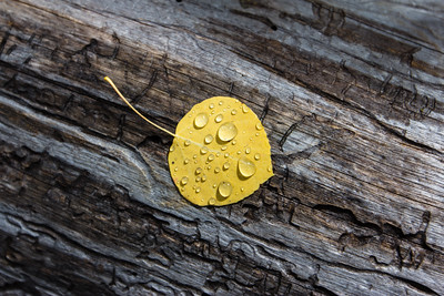 Aspen leaf sitting on log with the morning dew