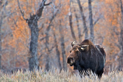 Cow Moose in Grand Teton National Park