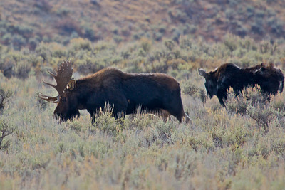 Bull & Cow Moose in Grand Teton National Park