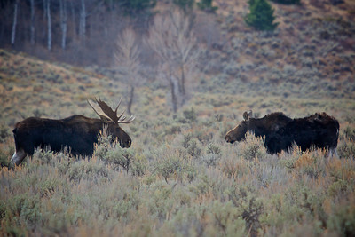 Bull & Cow Moose In Grand Teton National Park