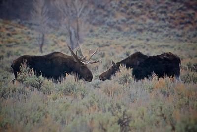 Bull & Cow Moose kissing In Grand Teton National Park