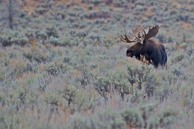 Bull Moose In Grand Teton National Park