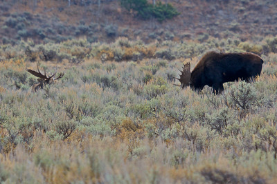 Bull Moose In Grand Teton National Park, 2nd Bull bedded down in sagebrush.