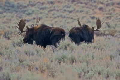 Two Bull Moose In Grand Teton National Park