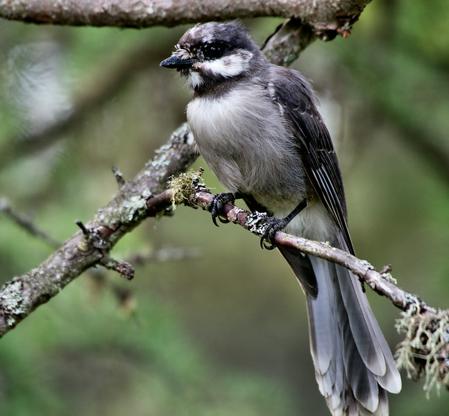 Grayjay (juvi), Bloomingdale Bog Trail, July 2014