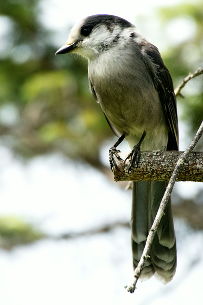 Grayjay, Bloomingdale Bog Trail, July 2014