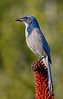 Western Scrub-Jay (Aphelocoma californica), also known as California Jay or Long-tailed Jay