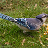 Blue Jay Eating Corn