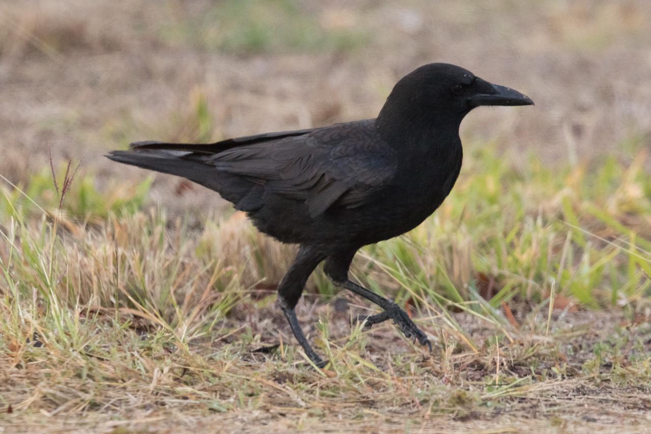 Fish Crow Everglades National Parlk 2018 01 09-2.CR2