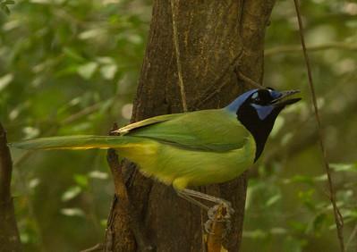 Green Jay  South Texas 2012 03 20-2292.CR2