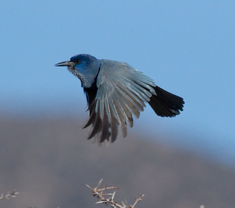 Pinyon Jay  Bridgeport Reservoir 2011 11 25 (4 of 5).CR2