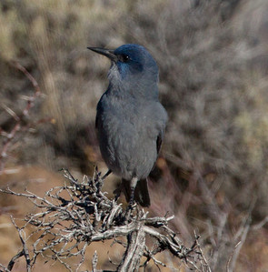 Pinyon Jay  Bridgeport Reservoir 2011 11 25 (5 of 5).CR2