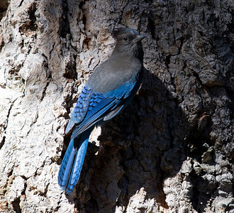 Steller`s Jay  Mammoth Lakes 2011 06 15-1.CR2