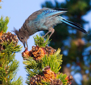 Steller`s Jay  Mammoth Lakes 2014 08 21 (1 of 3).CR2