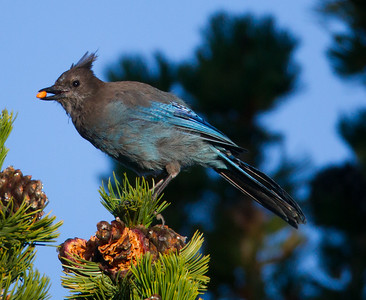 Steller`s Jay  Mammoth Lakes 2014 08 21 (3 of 3).CR2