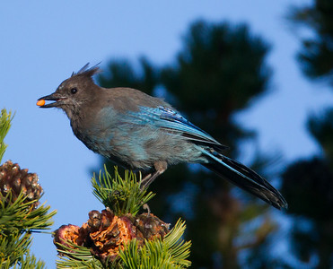 Steller`s Jay  Mammoth Lakes 2014 08 21 (2 of 3).CR2