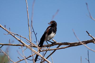 Black-Billed Magpie Magee Creek Ca  09 05 10