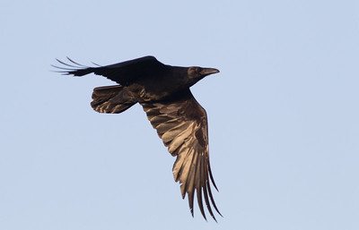 Common Raven San Luis Rey Oceanside 2011 05 26-1.CR2