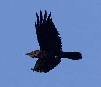 Common Raven  San Elijo Lagoon  2013 04 18 (1 of 1).CR2