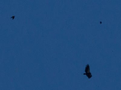 California Condor Common Raven   Pinnacles National Monument California 2011 09 25-2.CR2
