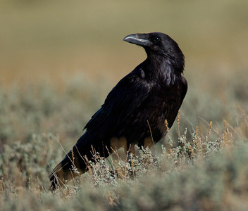 Common Raven  Crowley Lake 2013 05 20 (1 of 1).CR2