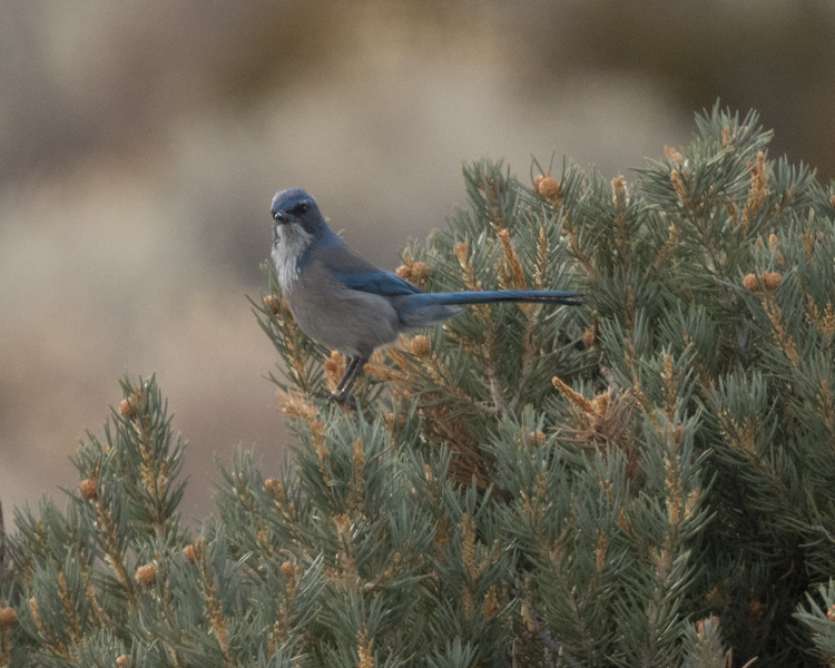 Woodhouse`s Jay North of Mono Lake 2018 12 18-1.CR2-2.CR2