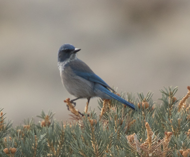 Woodhouse`s Jay North of Mono Lake 2018 12 18-1.CR2-4.CR2