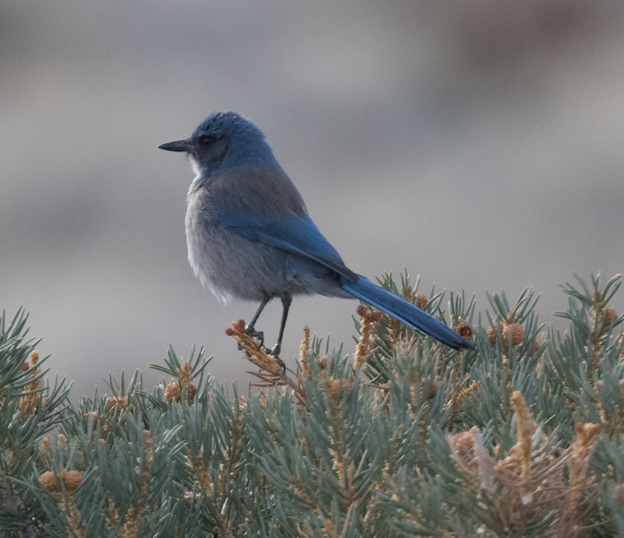 Woodhouse`s Jay North of Mono Lake 2018 12 18-1.CR2-5.CR2