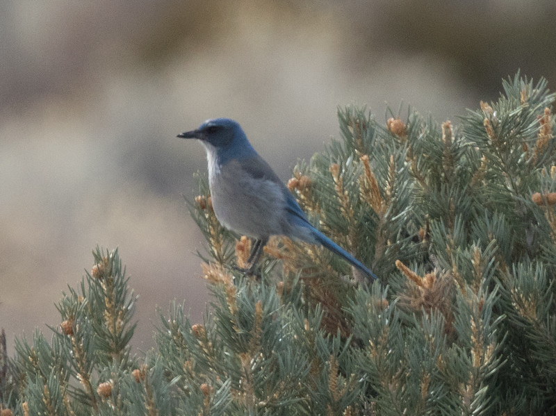 Woodhouse`s Jay North of Mono Lake 2018 12 18-1.CR2-3.CR2