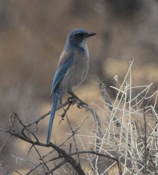 Woodhouse`s Jay North of Mono Lake 2018 12 18-1.CR2-6.CR2