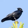 American Crow San Luis Rey River 2011 12 25 (1 of 3).CR2