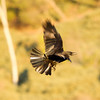 American Crow  Dana Point  2011 12 28   (3 of 4).CR2